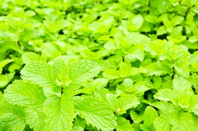 Backyard mint can grow with very little attention in most back yards during the summer.  Be careful, it can take over.  So, use it often, throughout the summer. Image courtesy of satit_srihin / FreeDigitalPhotos.net